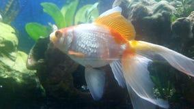 Natação vermelha do tampão do peixe dourado da cauda do véu Fotografia de Stock Royalty Free