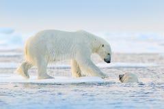Nata??o do urso polar na ?gua Dois ursos que jogam no gelo de derivação com neve Animais brancos no habitat da natureza, Alaska,  fotos de stock royalty free