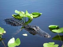 Nata??o pequena do jacar? nos marismas de Florida foto de stock royalty free