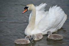 Natación adulta con los pollos del cisne, Swannery del cisne de Abbotsbury Imágenes de archivo libres de regalías