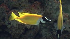 Natación amarilla de los pescados en acuario almacen de video
