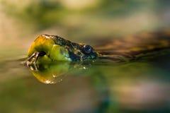 Natación amarilla del anaconda Imagen de archivo