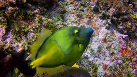 Natación anaranjada de los pescados del fichero al lado de un arrecife de coral en las aguas de Cozumel almacen de metraje de vídeo