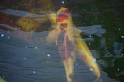 Natación anaranjada y blanca de los pescados del koi en una charca fotografía de archivo libre de regalías