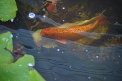 Natación anaranjada y blanca de los pescados del koi en una charca imágenes de archivo libres de regalías