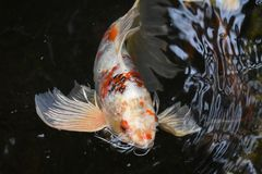 Natación anaranjada y blanca de los pescados de la carpa fotografía de archivo