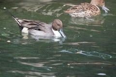 Natación anillada masculina de Teal Duck a través de una charca Imagenes de archivo