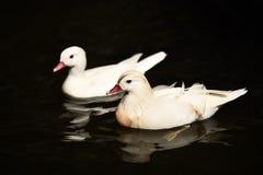 Natación blanca de los patos Fotos de archivo libres de regalías