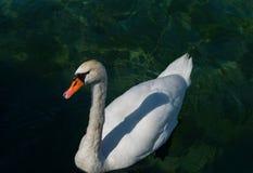 Natación blanca del cisne Fotografía de archivo