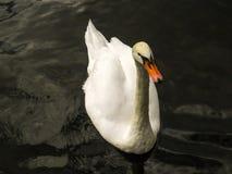 Natación blanca del cisne Imagenes de archivo