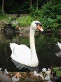 Natación blanca del cisne en el agua Imagen de archivo libre de regalías
