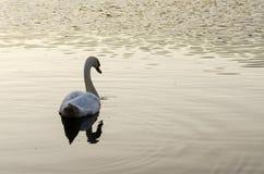 Natación blanca del cisne en el lago fotografía de archivo libre de regalías