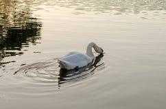 Natación blanca del cisne en el lago fotografía de archivo