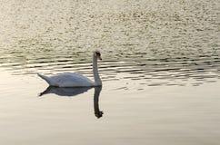 Natación blanca del cisne en el lago fotos de archivo