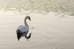Natación blanca del cisne en el lago foto de archivo libre de regalías