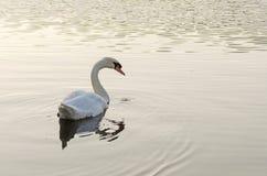Natación blanca del cisne en el lago imágenes de archivo libres de regalías