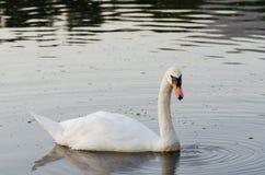 Natación blanca del cisne en el lago fotos de archivo libres de regalías
