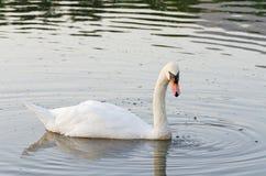 Natación blanca del cisne en el lago foto de archivo