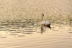 Natación blanca del cisne en el lago imagen de archivo libre de regalías