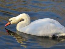 Natación blanca del cisne en el primer del río foto de archivo