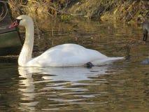 Natación blanca del cisne en el primer del río fotos de archivo