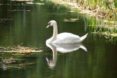 Natación blanca del cisne en un canal a través de los campos de granja fotografía de archivo libre de regalías