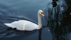 Natación blanca del cisne en una charca almacen de video