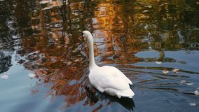 Natación blanca del cisne en una charca metrajes