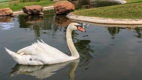 Natación blanca del pato imagen de archivo