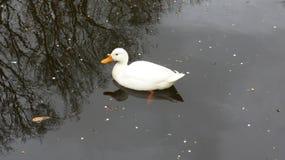 Natación blanca del pato en agua sucia fotos de archivo