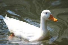 Natación blanca del pato en la charca Imágenes de archivo libres de regalías