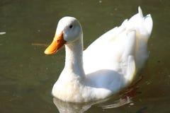 Natación blanca del pato en la charca Imagen de archivo