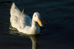 Natación blanca del pato en la charca con una reflexión Fotos de archivo libres de regalías