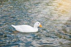 Natación blanca del pato en la charca y la luz del sol fotografía de archivo libre de regalías