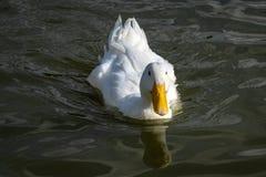 Natación blanca pesada del pato de Pekin hacia la cámara foto de archivo libre de regalías