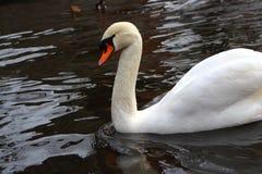 Natación blanca sola del cisne en la charca Concepto del amor y de la pureza fotografía de archivo