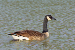 Natación canadiense del ganso en el cuello de la charca ampliado Imagenes de archivo