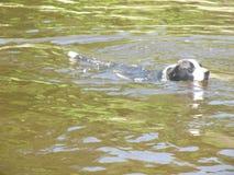 Natación canina en el agua foto de archivo libre de regalías
