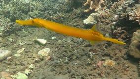 Natación chinensis del Aulostomus del Trumpetfish subacuática en el mar de Bali almacen de video