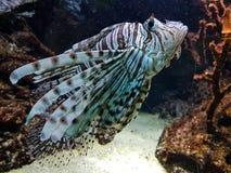 Natación colorida de los pescados con los corales foto de archivo libre de regalías