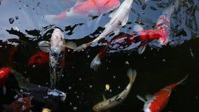 Natación colorida de los pescados de Koi de la carpa en el lago metrajes
