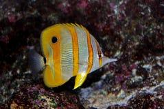 Natación colorida de los pescados en el acuario Fotos de archivo