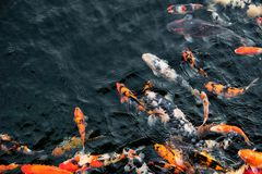 Natación colorida de los pescados de Koi en la charca imagen de archivo