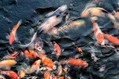 Natación colorida de los pescados de Koi en la charca foto de archivo libre de regalías