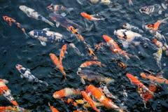 Natación colorida de los pescados de Koi en la charca imagen de archivo libre de regalías