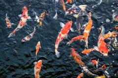Natación colorida de los pescados de Koi en la charca imágenes de archivo libres de regalías