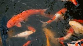 Natación colorida vibrante de los pescados de Koi Carp del japonés en la charca tradicional del jardín Carpas de lujo chinas bajo metrajes