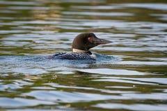 Natación común del bribón en un lago minnesota Foto de archivo