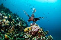 Natación común del Lionfish sobre los arrecifes de coral en Gili, Lombok, Nusa Tenggara Barat, foto subacuática de Indonesia Imagen de archivo libre de regalías