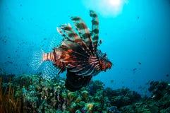 Natación común del Lionfish sobre los arrecifes de coral en Gili, Lombok, Nusa Tenggara Barat, foto subacuática de Indonesia Foto de archivo libre de regalías